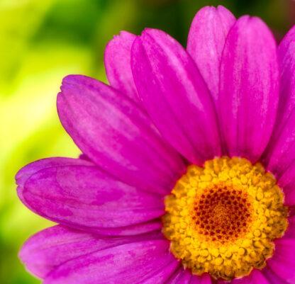 Blüte in Pink